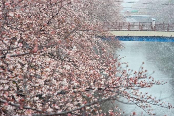 Tuyết rơi trên con đường hoa anh đào dọc theo sông Meguro ở Tokyo. Hàng năm, khu vực này thu hút hàng chục nghìn người ngắm hoa mỗi ngày, nhưng năm nay chỉ có một số người đi bộ trên cầu, giữa thời tiết kì lạ của mùa xuân năm nay.