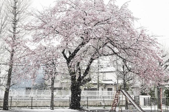 Một trận tuyết lớn vào cuối tháng ba, cùng với lệnh hạn chế ra ngoài đã khiến dân Tokyo phải ở nhà ngày chủ nhật. Theo cơ quan khí tượng thì kể từ năm 1969 cho đến nay, đây là lần đầu tiên có tuyết rơi ngay sau ngày mankai (thời điểm hoa anh đào nở đẹp nhất). Ảnh A6b7b6e