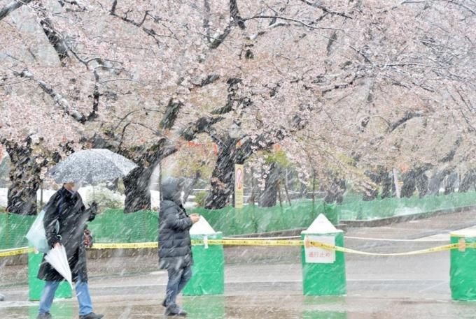 Khu vực tổ chức lễ hội hoa anh đào đã bị rào lại.Vì lệnh hạn chế nên nhiều người đành ở nhà ngắm hoa qua ô cửa sổ rồi chia sẻ ảnh lên Twitter. Ảnh Senkai