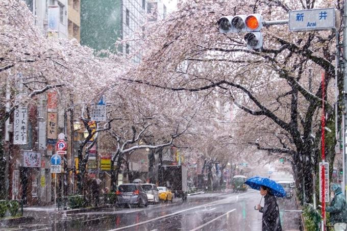 Tuyết rơi trên khắp vùng Kanto từ sáng đến giữa trưa 29/3. Đường sá trơn tượt, xe cộ thưa thớt và chỉ có vài người đi bộ trên đường.