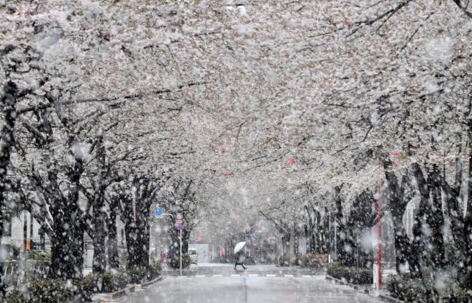 Tuyết rơi trên khắp vùng Kanto từ sáng đến giữa trưa 29/3. Đường sá trơn tượt, xe cộ thưa thớt và chỉ có vài người đi bộ trên đường.ẢnhSankei.