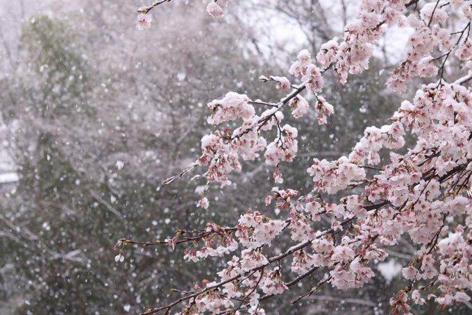 Những cây hoa anh đào phủ đầy tuyết trắng. Tuyết rơi đầu hay cuối mùa hoa không phải điều hiếm thấy, nhưng ngay lúc hoa đạt đỉnh điểm thì vài chục năm mới có một lần. Ảnh Hisashi Nagumo