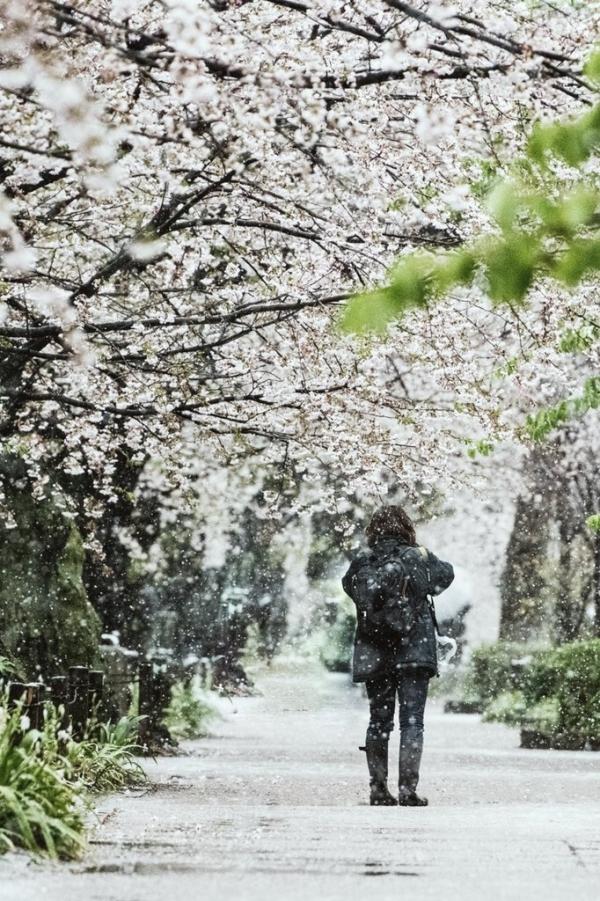 Con đường ngắm hoa anh đào gần hoàng cung Tokyo