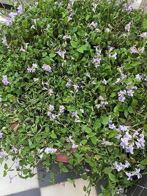 Chậu rau ngót Nhật đang nở rộ hoa tím.