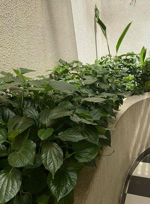 Cây lá lốt dễ trồng và không cần chăm sóc nhiều, là nguyên liệu để Giáng My làm món chả lá lốt, ốc nấu chuối đậu.