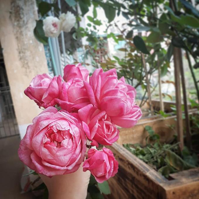 Daisy Tú Anh hào hứng khoe những đoá hồng cổ Sa Pa được chị trồng thành công với bạn bè và người có cùng đam mê trồng hoa.