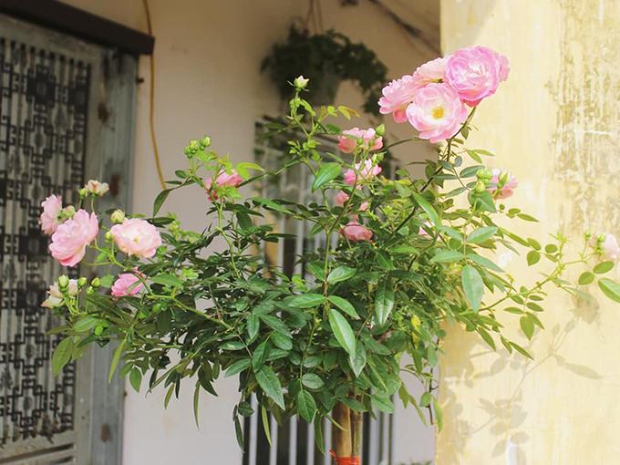 Ban công mặt trước nhà được trồng nhiều hoa.Buổi sáng, thời điểm bướm hay đẻ trứng, chị sẽ bắt sâu cho rau, hoa.