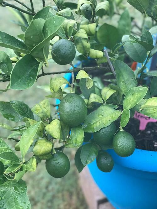 Các loại cây ăn trái trồng trong chậu vẫn cho quả sai lúc lỉu.