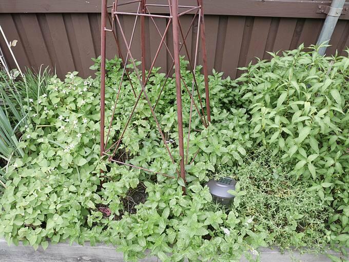 Trong khu vườn của gia đình chịDiem Goleman có rất nhiều loại rau, trái quen thuộc với người Việt. Chị trồng húng bạc hà, rau răm, mướp hương, chanh ta, cà tím, khổ qua...