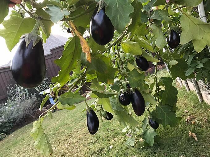 Con tôi thích ăn những thứ chúng tôi trồng và chúng cũng thích giúp đỡ công việc trong vườn. Tôi thích nhìn các con chơi và hái những trái đậu xanh tươi, cà chua, đậu Hà Lan... Một trong những điều yêu thích của chúng là đào đất thu hoạch khoai lang vào cuối vụ. Và tôi thích nhìn thấy chúng như vậy, chị Diem Goleman chia sẻ với trang Humans Who Grow Food.