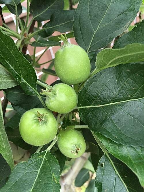 Một cây táo đã bắt đầu bói quả.