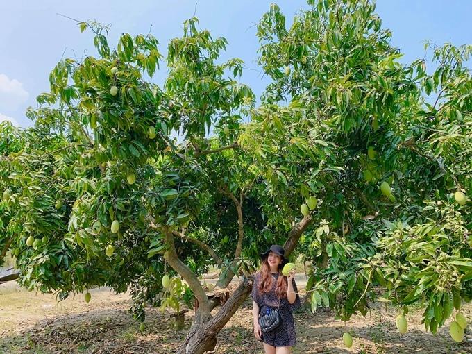 Minh Chuyên chia sẻ hiện có 150 gốc xoài cho trái đều đặn. Mỗi trái khi chín nặng gần 1 kg, ăn giòn và vị thanh, ngọt.
