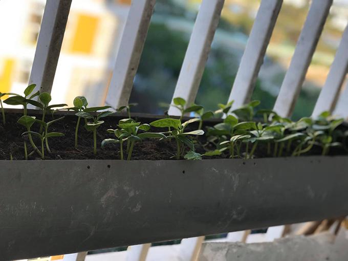 Do không gian trồng rau không nhiều nên mẹ 9X thường phải thêm và thay đất thường xuyên. Chị Trang thường thay thế một nửa đất cũ bằng đất mới sau 2 đợt trồng rau, đảm bảo dinh dưỡng cho cây.