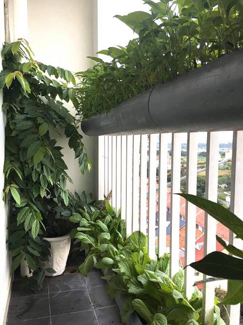 2 ban công nhỏ thuộc căn hộ của gia đình chị Trang (30 tuổi, Trưởng phòng mua hàng & marketing) đều được tận dụng để trồng rau sạch.