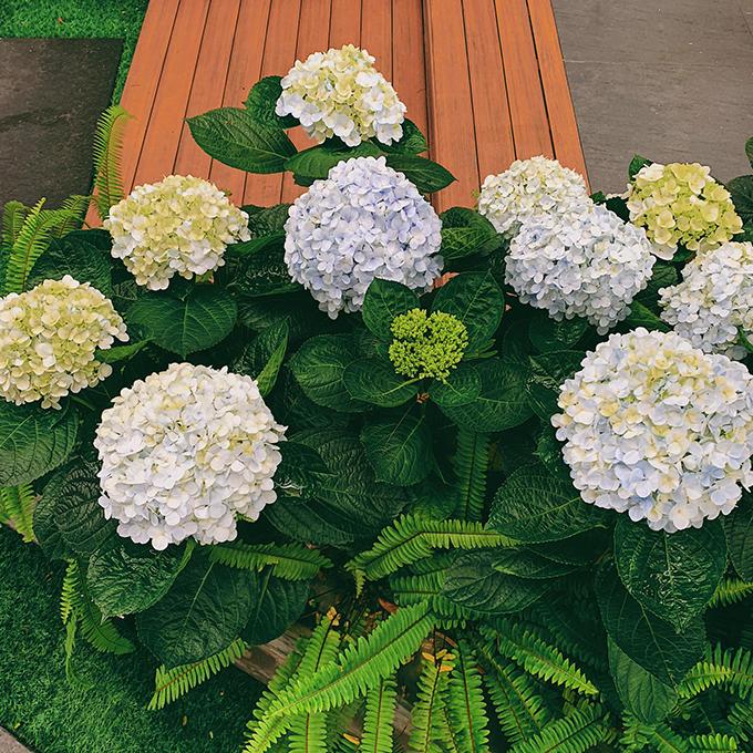 Khoảng thời gian giao sau Tết, á hậu trồng nhiều hoa cẩm tú cầu - loài hoa mà chị yêu thích nhất ở khu vườn sau nhà.