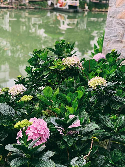Tú Anh chia sẻ: Chăm cẩm tú cầu được một năm, tôi rút được kinh nghiệm là cây này rất ưa nước nên cần chăm tưới, chỉ ra hoa một lần vào sau Tết. Vì thế, mọi người tăng cường, chăm bón các hạt dinh dưỡng thì hoa sẽ nở đẹp hơn.