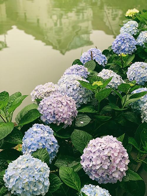 Khi chăm cẩm tú cầu, người đẹp thường xuyên tỉa cây để hoa nở đều, đẹp hơn, tránh tình trạng hoa phát triển bị nghiêng, mất phom dáng.