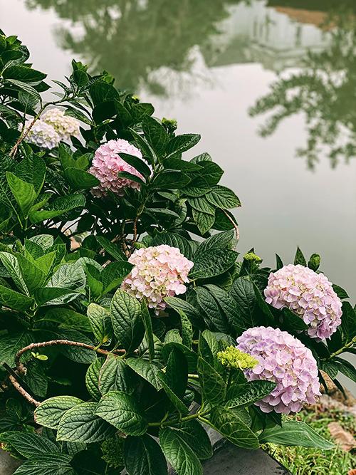 Cây cẩm tú cầu ít sâu bệnh nhưng ngay khi thấy lá héo, phải chăm tưới để không làm giảm khả năng ra hoa của cây. Cây thường được bón phân 2 lần vào cuối đông và đầu xuân. Màu sắc của cẩm tú cầu sẽ thay đổi theo độ pH - độ chua của đất. Nếu muốn giảm độ pH của đất để cẩm tú cầu có màu xanh, bạn cần thêm lưu huỳnh hoặc nhôm, có thể chôn vài cây đinh gỉ vào gốc cây hoặc một ít giấy nhôm loại dùng để nướng đồ ăn. Bạn cũng có thể kiểm tra độ pH bằng cách mua một ít giấy quỳ thí nghiệm, giúp cây nở hoa đúng màu mong muốn.