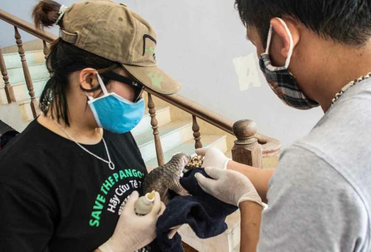 Cán bộ trung tâm chăm sóc cho cá thể tê tê. Ảnh: Trung tâm bảo tồn.