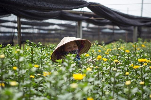 Cúc cuối đợt nhiều nhà vườn tiếc vì trước đó đã chặt bỏ hết không có hoa bán. Ảnh: Nguyễn Ngoan