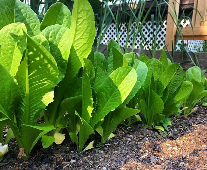 Khu vườn đầu tiên mà Misilla gây dựng là gần 10 năm trước. Cô trồng cây trong những chiếc hộp gỗ nhỏ trên ban công chung cư. Khi đó, cô trồng cà chua, thảo mộc và dâu tây.
