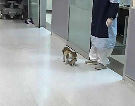 Mèo mẹ dùng miệng tha con non đến cửa một phòng điều trị khoa cấp cứu bệnh viện Thổ Nhĩ Kỳ. Ảnh: Twitter.