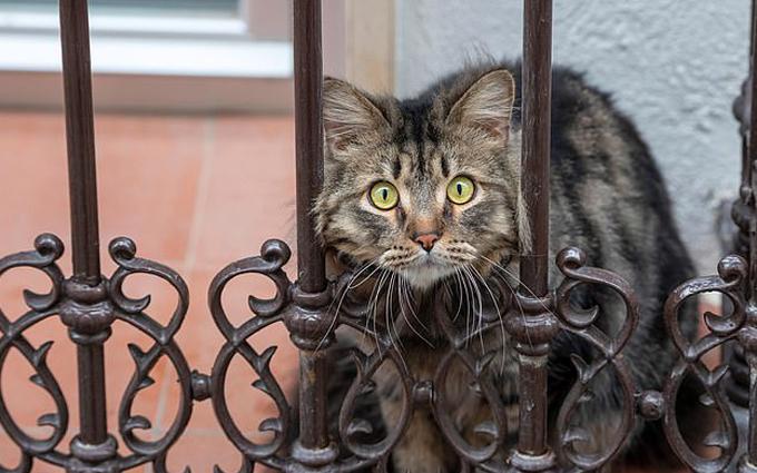Loài mèo được xác định dễ nhiễm virus hơn các loài động vật khác. Ảnh: EPA.