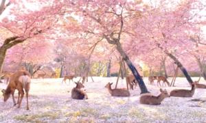 Công viên nai ở Nhật Bản như 'vườn địa đàng