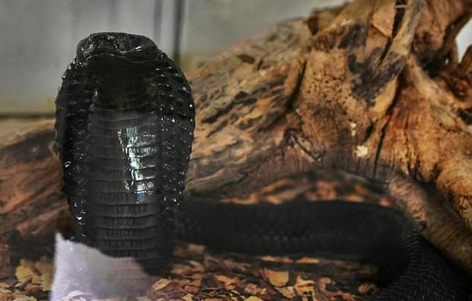 Rắn hổ mang, loài rắn cực độc có thể gây chết người ngay lập tức khi bị nó cắn. Ảnh: AFP.