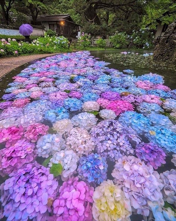 là những bông hoa còn tươi tốt, chưa kịp tàn đã được cắt rồi sau đó thả nổi trên mặt hồ. Ảnhcriss1016