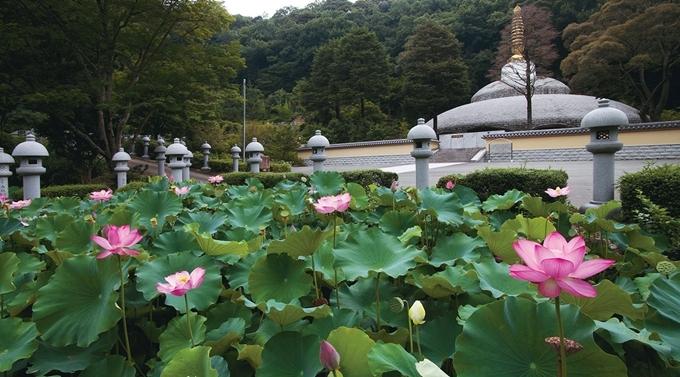 Cùng với hoa cẩm tú cầu thì hoa sen ởKyuaniji cũng khá nổi tiếng. Những bông sen hồng, trắng đua nhau nở trong ao, giữa không gian thanh tịnh vào mùa hè khiến du khách cảm thấy yên bình khi tản bộ.