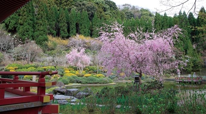 Mùa xuân, hoa anh đào nở rộ khắp khu vườn được chăm chút kĩ càng.