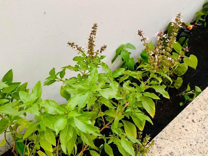 Đại Nghĩa hào hứng khoe các luống rau tươi tốt sau thời gian vun trồng.