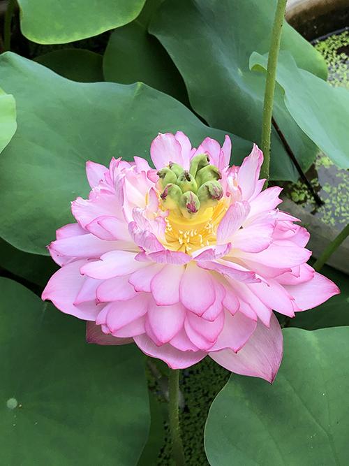 Về thời gian trồng, chị Hồng bắt đầu từ tháng 4 - thời gian lý tưởng nhất để trồng sen. Bạn cũng có thể trồng sớm hơn nhưng hoa phát triển chậm vì thời tiết còn lạnh, hoa chưa đủ nắng để phát triển, chị bổ sung.