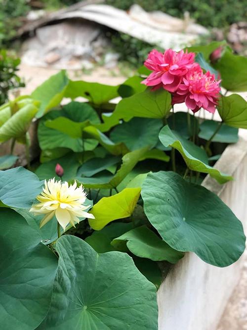 Ưu điểm của việc trồng sen trong bể, chậu to trên 1 m2 là không mất công trồng lại hoa sen nhưng chỉ có một mùa hoa nở trong năm. Còn nếu trồng sen trong chậu 50 cm, hết đợt một, chị Hồng sẽ lật chậu để lôi,táchcủ sen với bùn, đem rửa củ, vùi bùn mới rồi cho vào chậugiúpsen nở lần hai.