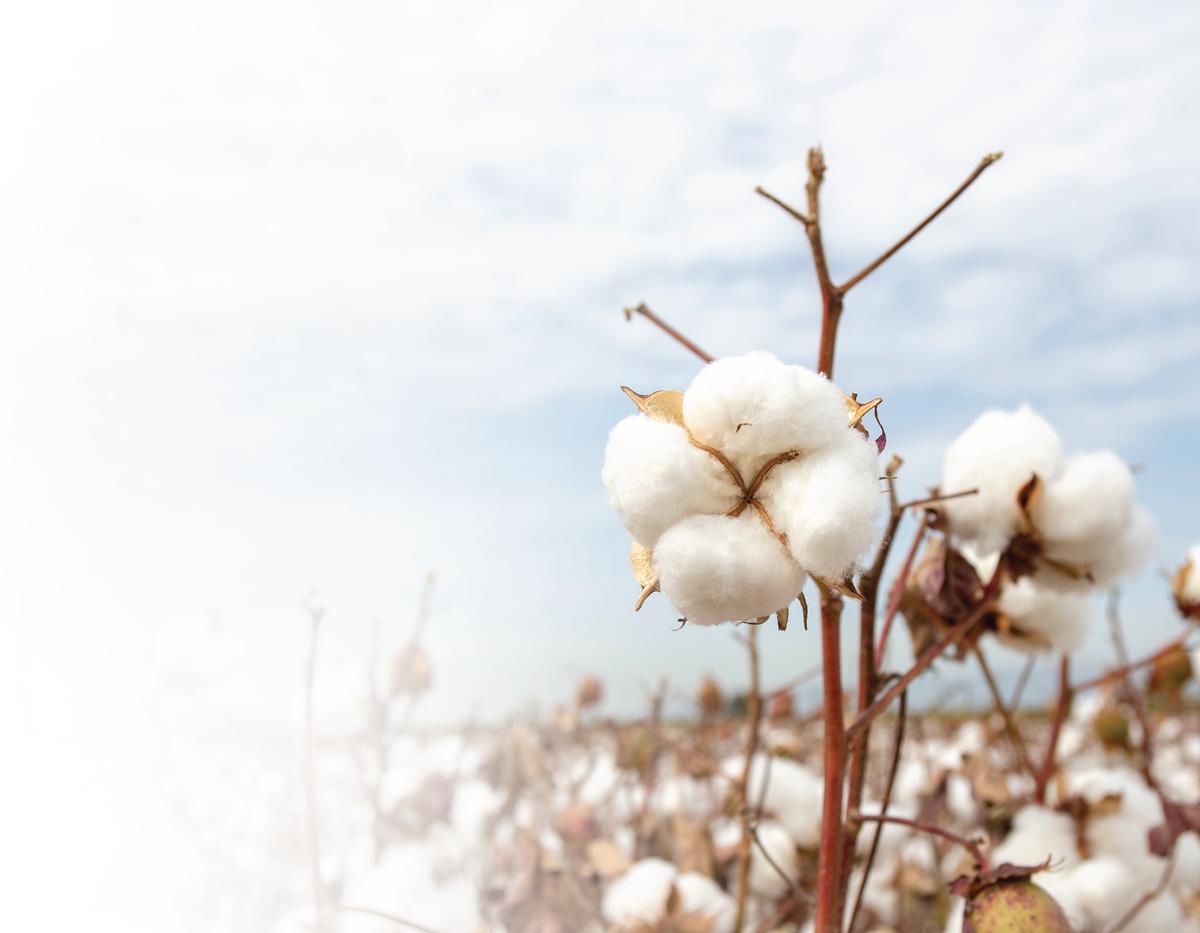 Bông tẩy trang Cotoneve từ sợi bông cotton được chứng nhận phân huỷ sinh học.