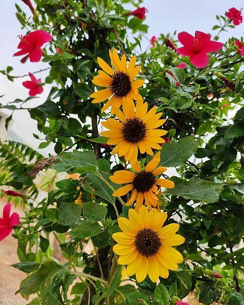 Hoa hướng dương bung nở trên sân thượng nhàRonanki.
