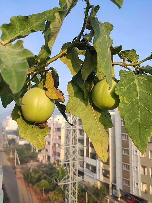 Điều duy nhất mà Ronanki thiếu là một không gian đủ rộng để làm vườn vì gia đình cô sống trong một căn hộ. Nhưng cô gái sinh năm 1997 không từ bỏ đam mê của mình. Mục tiêu của Ronanki là trồng mọi loại cây trong chậu để tận dụng diện tích và đa dạng danh mục cây trồng.
