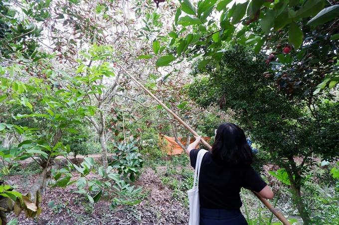 Du khách tự hái chôm chôm trong vườn trái cây.