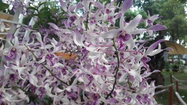 Vẻ đẹp độc đáo và mùi hương nhẹ nhàng quyến rũ khiến hoa lan được nhiều người yêu thích.