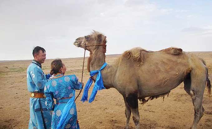 Con lạc đà được đoàn tụ chủ cũ sau 9 tháng được bán cho nhà mới. Ảnh: Bayan Nur Daily.