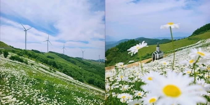 Khung cảnh đồi hoa cúc và nhà thờ.