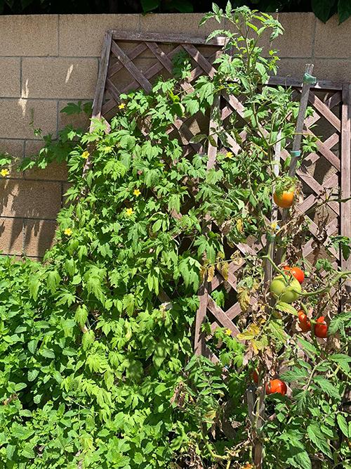 Để có vườn cây an toàn cho các con, Thanh Thảo trồng cây bằng đất organic, trị sâu bệnh bằng nước muối pha loãng, thường phun khoảng 3 ngày liên tiếp rồi ngừng theo hướng dẫn sử dụng trên bao bì chai nước.