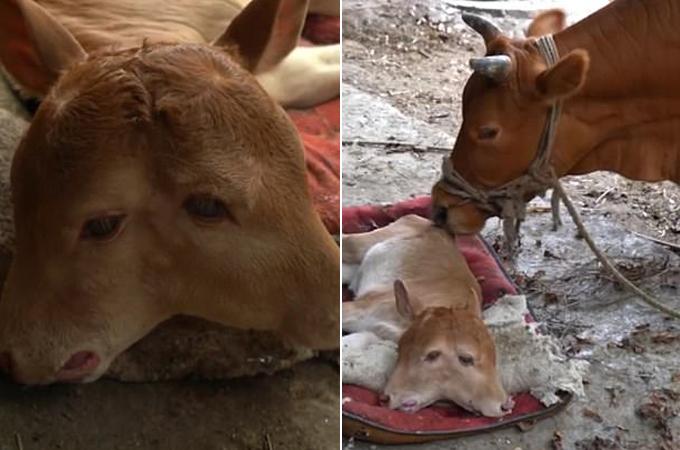Con bò hai đầu chào đời khỏe mạnh tại ngôi làng ở huyện Dejiang, tỉnh Quý Châu. Ảnh: Pear Video.
