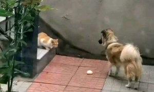 Chó nhà tha thức ăn cho mèo hoang