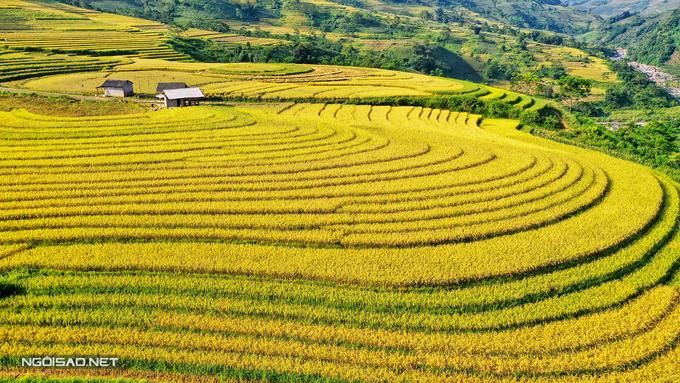 Mùa lúa trải thảm vàng ở vùng cao Tây Bắc
