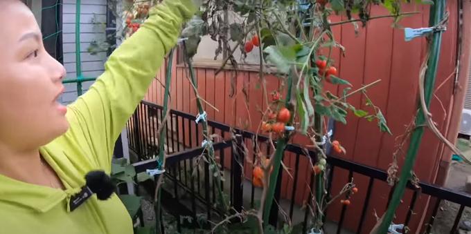 Cà chua trong vườn nhà vlogger. Cô dùng thêm các loại cặp quần áo để hỗ trợ cho cây đứng thẳng, hướng nắng mặt trời.