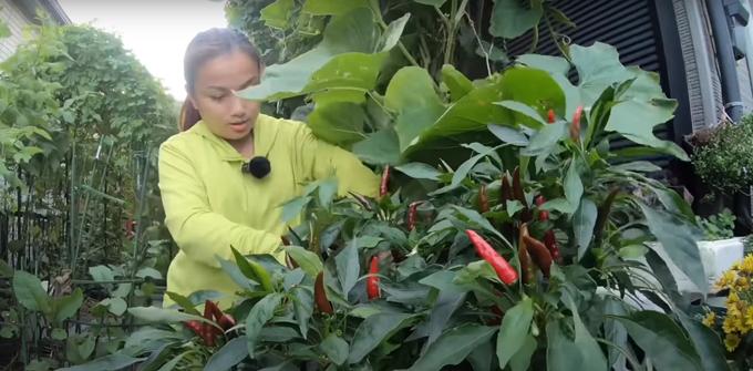 Cô còn trồng ớt Nhật trong vườn. Để cây ớt sai trái, Quỳnh Trần cắt cả trái và lá già, để lá non có thêm dưỡng chất phát triển, ra nhánh mới và giúp cây trổ thêm hoa đợt hai.