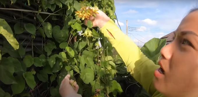 Thường xuyên nấu các món ăn Việt Nam nên Quỳnh Trần còn thử trồng giàn hoa thiên lý để không phải tốn công sức mua ở ngoài.