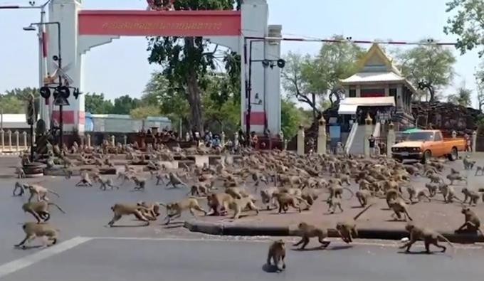 Khỉ cuồng sex đổ xuống đường làm loạn ở thành phố Lopuri, miền trung Thái Lan, hồi tháng 6. Ảnh: Viral Press.